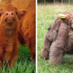 Nuova stravagante moda: mini mucche come incantevoli animali domestici