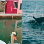 Coronavirus: la natura ringrazia. Dai delfini in Sardegna ai cigni di Venezia