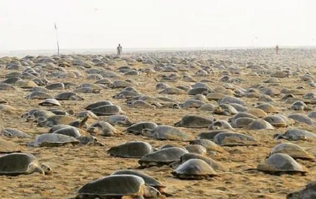 Coronavirus: tantissimi anni dopo le tartarughe nidificano indisturbate in spiaggia